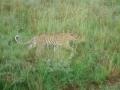 cheeta-n-safari